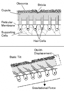 Diagram explaining how hairs in the ear work